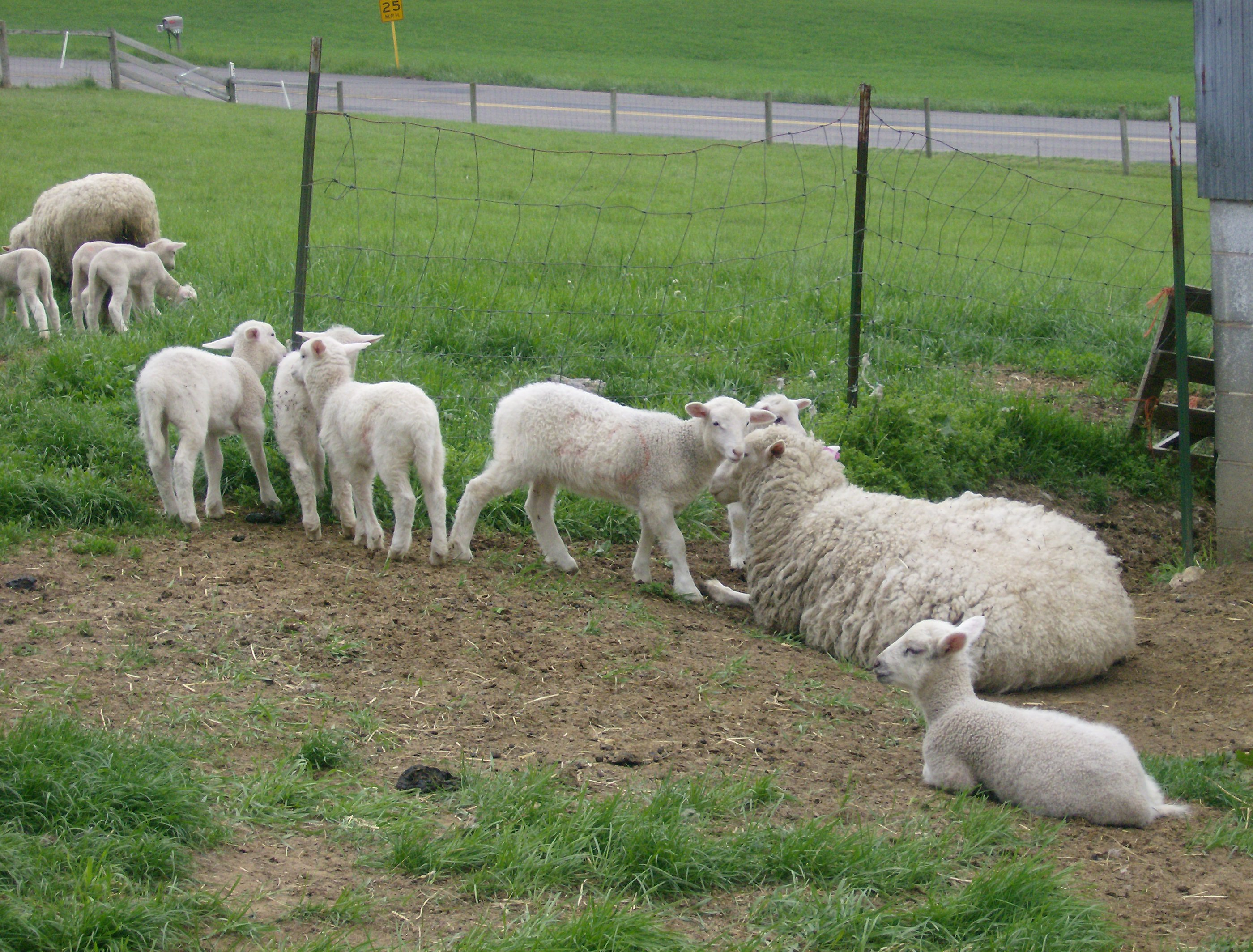 Knoll Acres Barbados Blackbelly Sheep – registered hair sheep with a