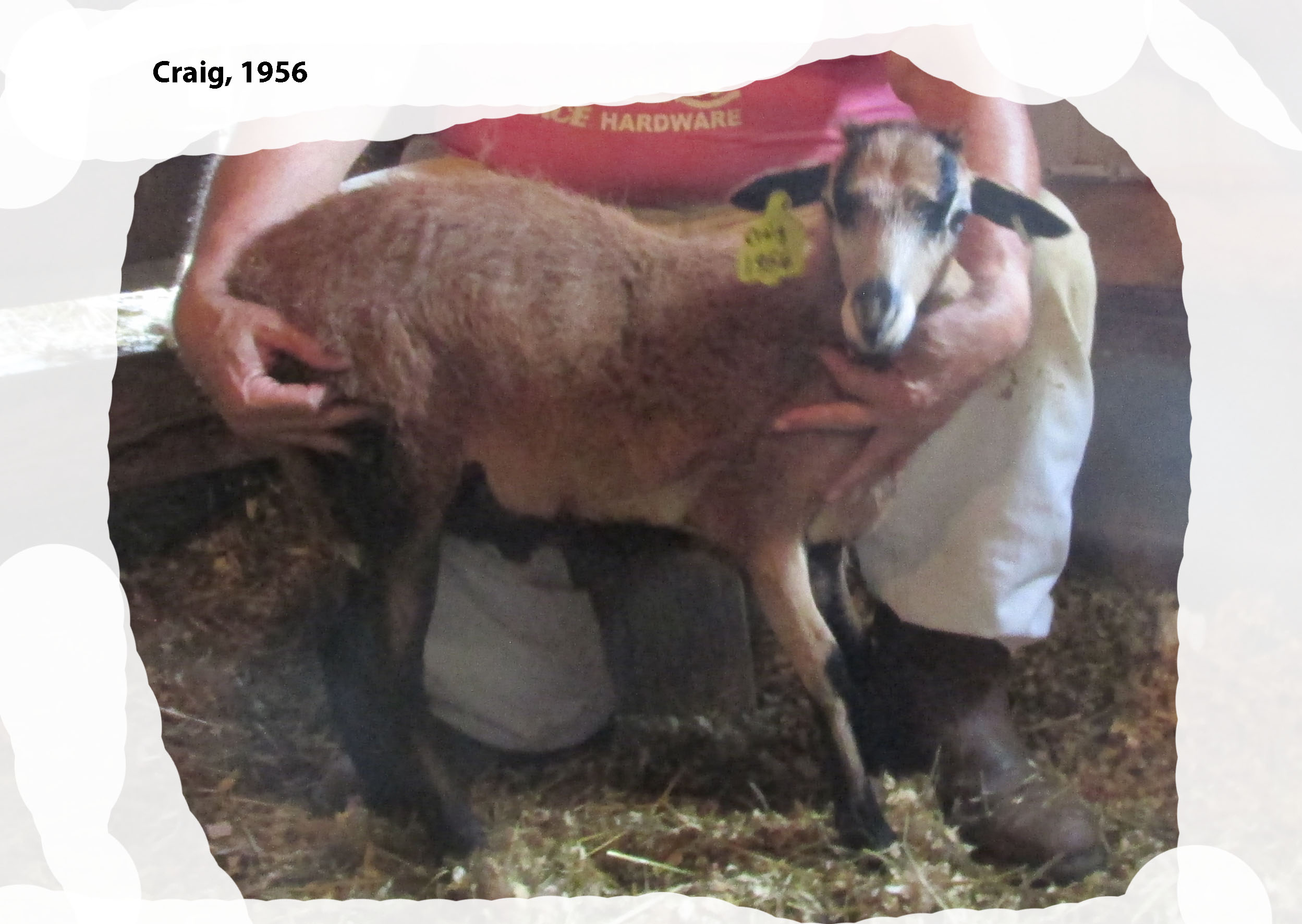 Sheep for Sale – Knoll Acres Barbados Blackbelly Sheep